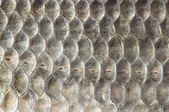 Fish scales, crucian carp background, cartilaginous fish, macro, close-up Stock Photography