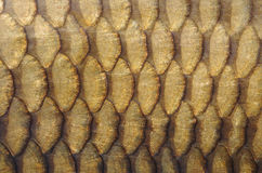 Fish scales. Gold carp scales close-up Royalty Free Stock Photo