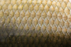 Fish Scales Macro Closeup. Closeup of fish scales showing the repeating pattern and texture of the scales Royalty Free Stock Photography