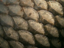 Fish scales. Photo of fish scales (carp), detail Royalty Free Stock Image