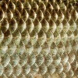 Fish scales skin texture macro view. Geometric pattern photo Crucian carp Carassius scaly with Lateral line. Selective