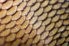 Fish scales Royalty Free Stock Photography