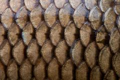 Fish scales texture Royalty Free Stock Photos