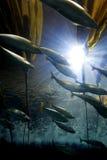 Fish School. School of fish swim quickly through the kelp Stock Photo