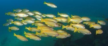 Fish school Royalty Free Stock Photo
