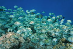 Fish school convict surgeonfish Pacific ocean Royalty Free Stock Photography