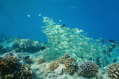 Fish school convict tang underwater Pacific ocean Stock Images