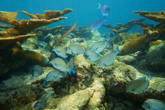 Fish school of Doctorfish in a coral reef Stock Photos
