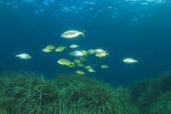 Fish school Mediterranean Sea Stock Image