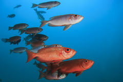 Fish school Royalty Free Stock Photo