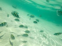 Fish school of scad fish in coral reef of Koh Tao, Thailand royalty free stock image