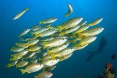 Fish school and scuba diver Stock Photos