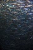 Fish school shoal in blue ocean. Underwater (Barracudas Stock Images