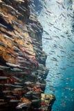 Fish school underwater Royalty Free Stock Images