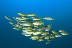 Fish school Royalty Free Stock Photography