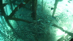 Fish Schooling Below Wooden Pier. Fish school in the shadows of a pier in Raja Ampat, Indonesia. This region is within the Coral Triangle and harbors stock video footage