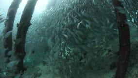 Fish Schooling Beneath Pier in Raja Ampat stock video