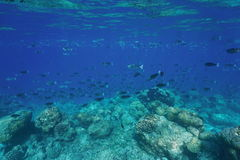 Fish schooling coral reef barrier Pacific ocean Royalty Free Stock Images