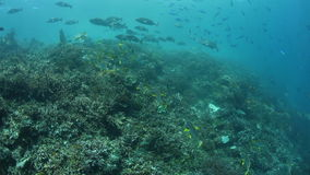 Fish Schooling on Reef in Tropical Pacific stock video