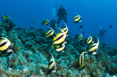 Fish and scuba divers. Banner fish and scuba divers swim in ocean Royalty Free Stock Image