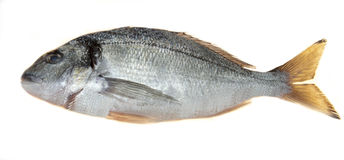 Fish sea bass closeup on a white background. Mediterranean delicious fresh fish. Stock Images