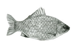 Fish sea bass sketch drawing Stock Photography