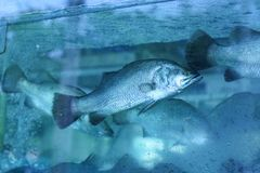 Fish. The sea bass fish in water tank Royalty Free Stock Photo