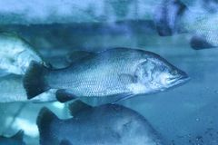 Fish. The sea bass fish in water tank Royalty Free Stock Photography