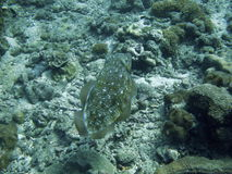 Fish on sea bottom. Fish or aquatic animal on a rocky, underwater sea bottom royalty free stock images