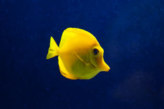 Fish in sea. Exotic fish, yellow tang in water Stock Photo