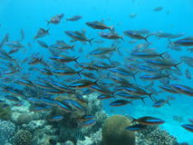 Fish in the sea. A school of colourful fish swimming in the sea Royalty Free Stock Photography