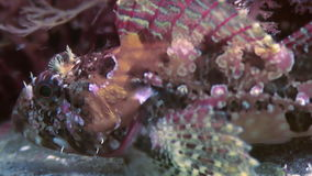 Fish and sea urchins among the rocks on seabed. stock video footage