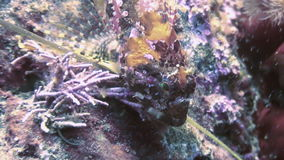 Fish and sea urchins among the rocks on seabed. stock video