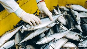 Fish seafood factory. Industry production processing equipment Stock Photography