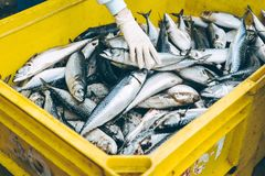 Fish seafood factory. Industry production processing equipment Royalty Free Stock Images
