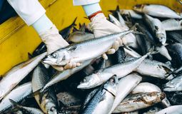 Fish seafood factory. Industry production processing equipment Stock Images