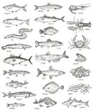 Fish and seafood hand drawn graphic illustration. Mega set, isolated on white Royalty Free Stock Photo