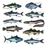 Fish, seafood sketch set with sea, ocean animal. Fish, seafood isolated sketch set. Sea and ocean fish vector icon of tuna, cod, bass, bream, mackerel, eel Royalty Free Stock Photo