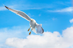 Fish seagull flying in the blue sky, freedom concept,  place for text Royalty Free Stock Photo