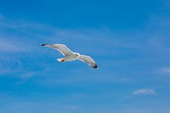 Fish seagull flying in the blue sky and looking at Stock Photos