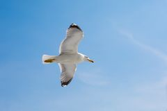 Fish seagull flying in the blue sky. Place for text Royalty Free Stock Images