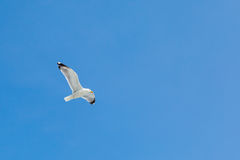 Fish seagull flying in the blue sky. Place for Royalty Free Stock Images