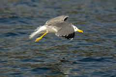 Fish seagull flying low over the water surface. Photo of Fish seagull flying low over the water surface Royalty Free Stock Images