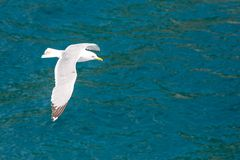 Fish seagull flying low over the water surface Royalty Free Stock Images