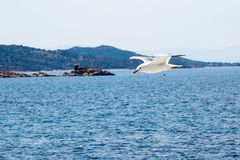 Fish seagull flying low over the water surface Stock Photography