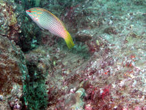 Fish in seascape. Fish swimming in a colorful underwater landscape near Andaman Beach in Thailand royalty free stock photos