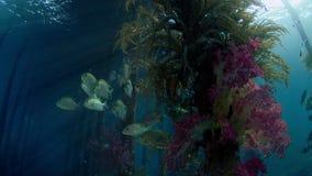 Fish seek shelter under a jetty, Raja Ampat, Indonesia. Mystic mood.Schools of Fish around the Jetty seek shelter, Goldspot spinefoot, Siganus lineatus, Raja stock video footage