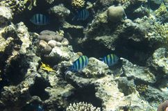 Fish sergeants in the coral royalty free stock images