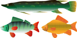 Fish set. Set of the pike, carp and perch isolated on white background Royalty Free Stock Photo