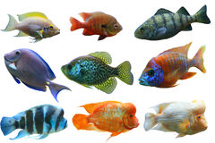 Fish Set. Colorful aquarium fish set isolated on white background Stock Image
